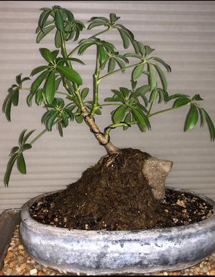 Root over rock Umbrella Bonsai