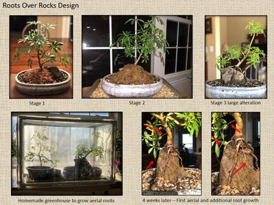 Roots over rock bonsai - aerial root growth