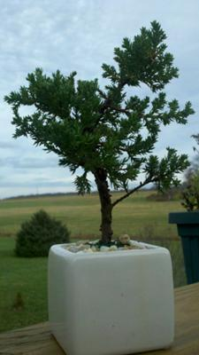 Juniper Bonsai Winter Care