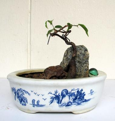 small Ficus