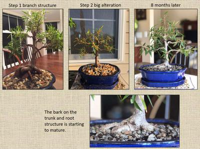 Willow Leaf Ficus Progression